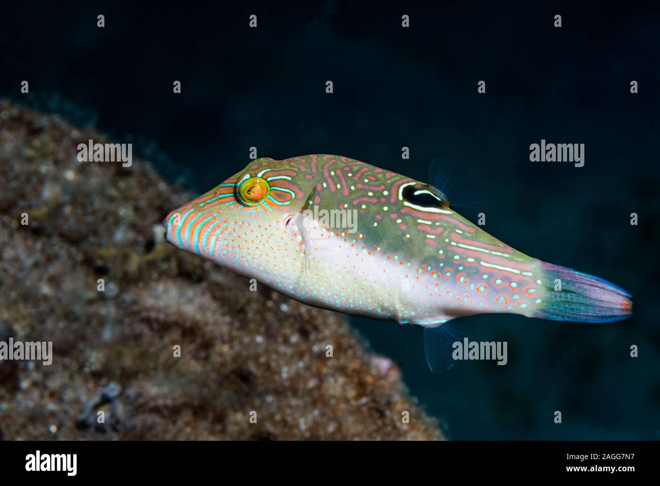 Bennets di Toby, Bennett's sharpnose puffer [Canthigaster bennetti]. Nord Sulawesi, Indonesia. Foto Stock