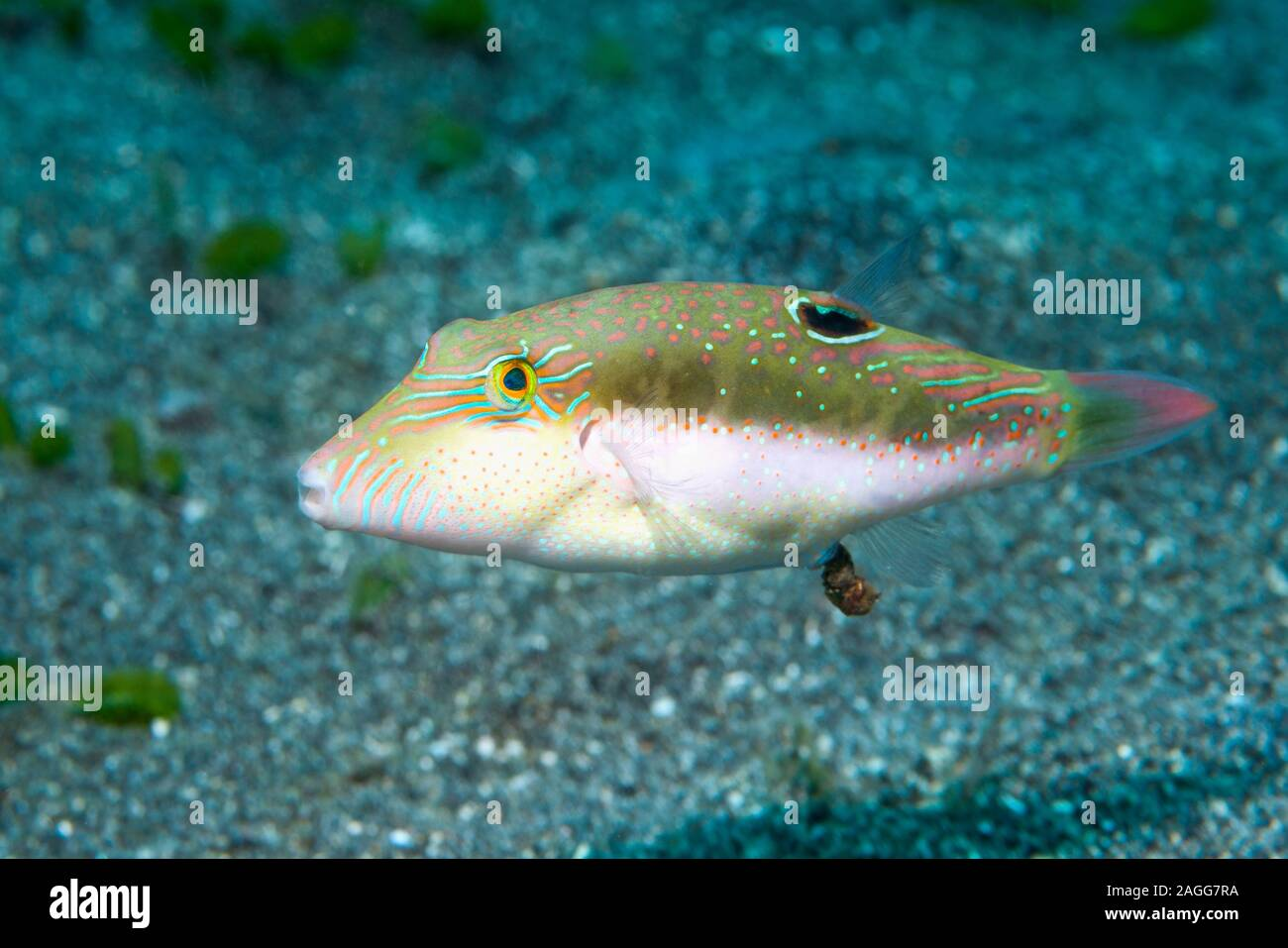 Bennets di Toby, Bennett's sharpnose puffer [Canthigaster bennetti] defecare. Nord Sulawesi, Indonesia. Foto Stock