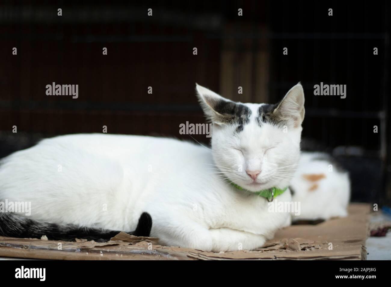 Testa Gioielli con gatti orecchienera