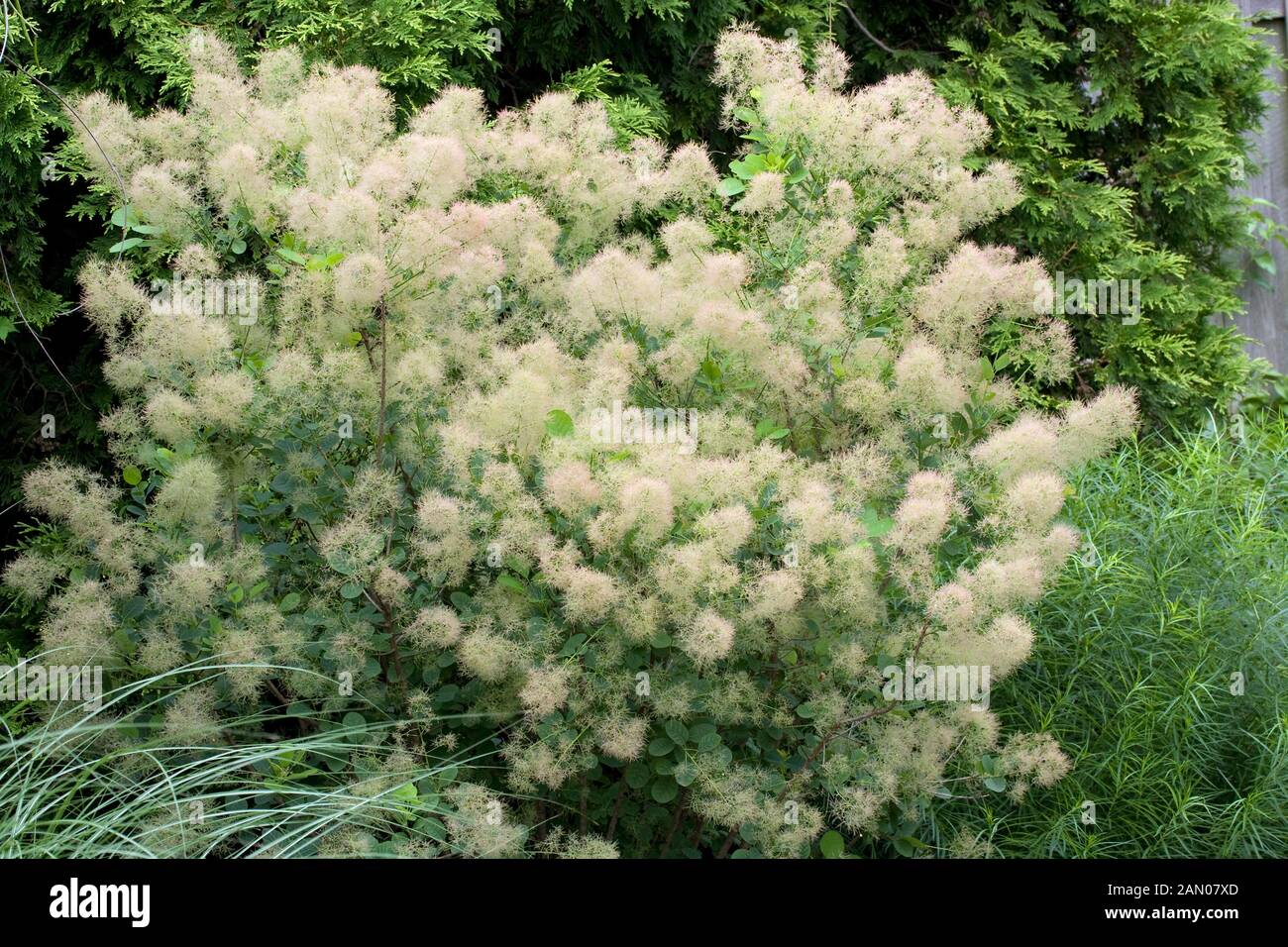 Parrucche verde arbusto Young Lady 80-100cm Cotinus COGGYGRIA