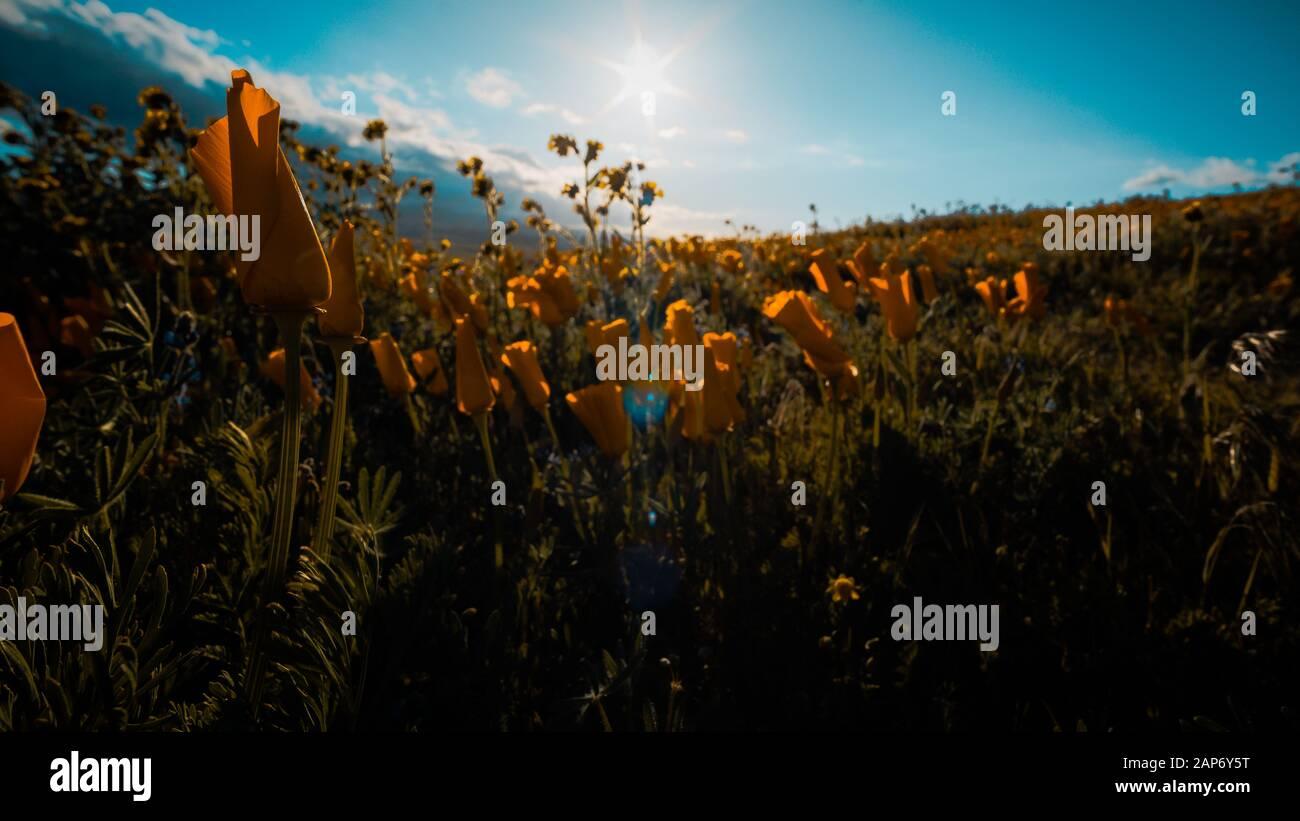Arancio brillante California Pobby (Eschscholzia) nella Antelope Valley California, Stati Uniti d'America Foto Stock
