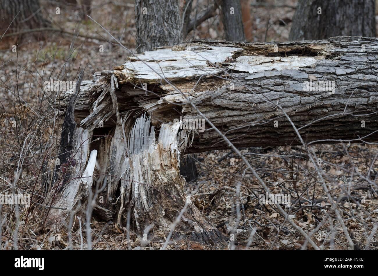 Cottonwood, Populus deltoides, abbattuto Foto Stock
