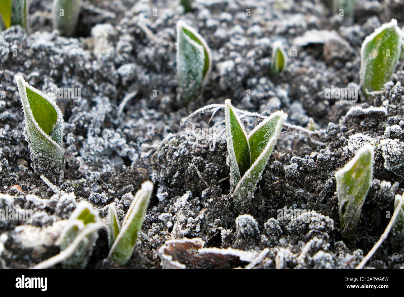 Gelo su tulipani piante emergenti da terra al di fuori di un freddo gelido inverno gennaio giorno in Gloucestershire UK 2020 KATHY DEWITT Foto Stock
