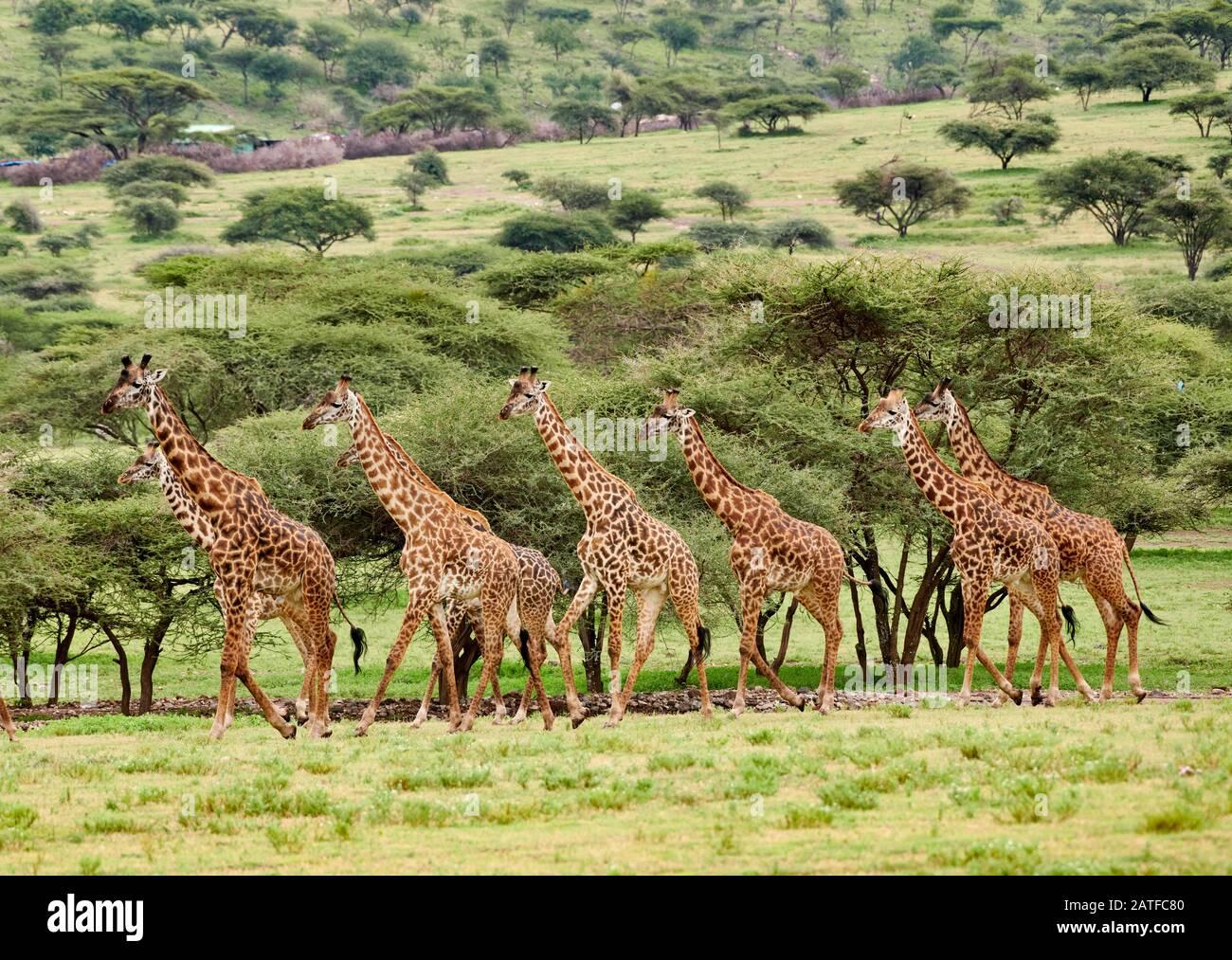 Massai giraffes 'Giraffa camelopardalis tippelskirchi' in Serengeti, Ngorongoro conservazione Area, Patrimonio dell'Umanità dell'UNESCO, Tanzania, Africa Foto Stock
