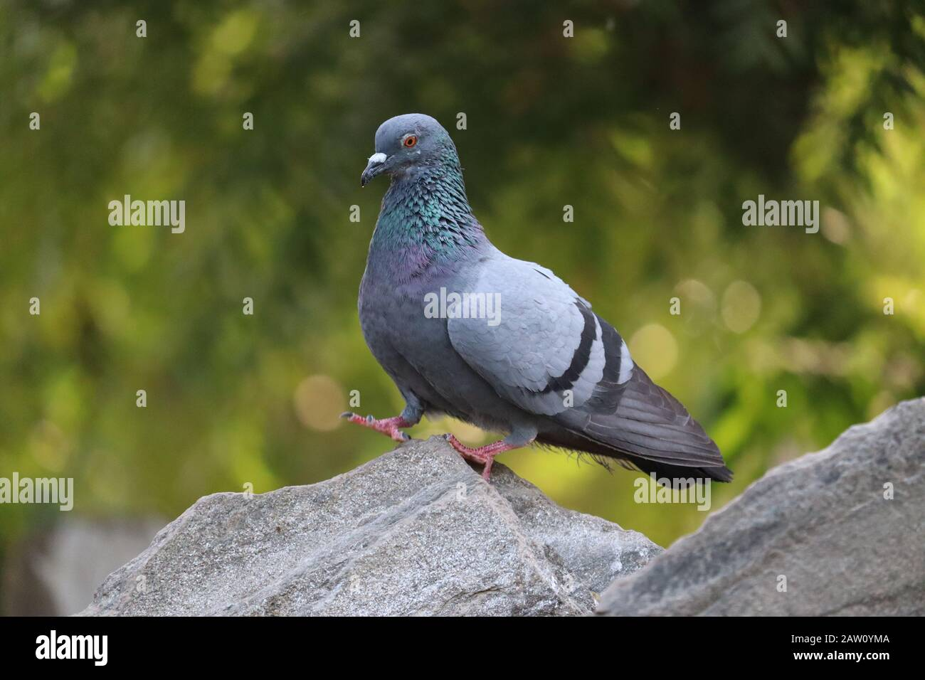 Immagini Piccione Immagini E Fotos Stock Alamy