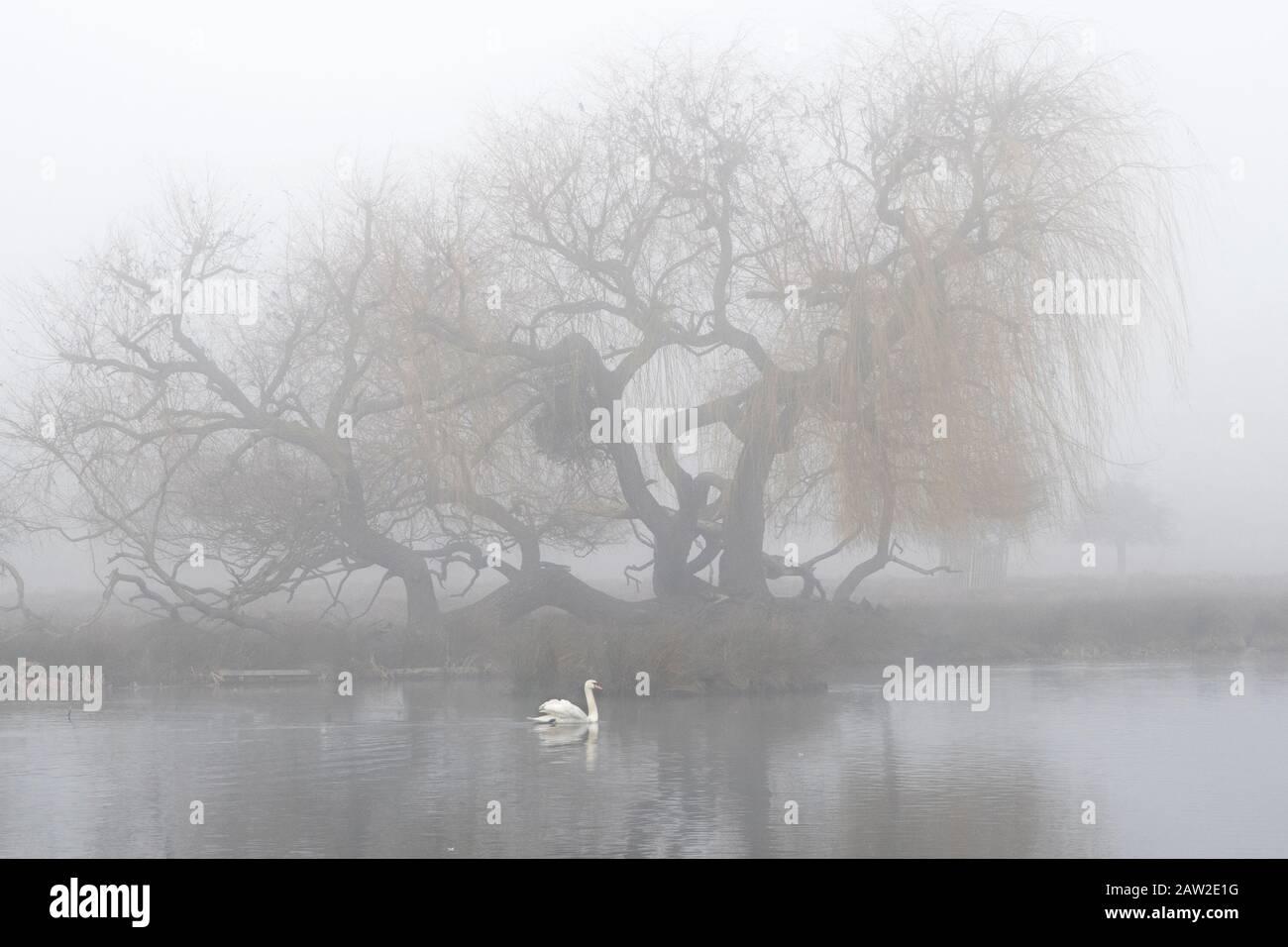 nebbia mattutina sul lago con cigno lone Foto Stock