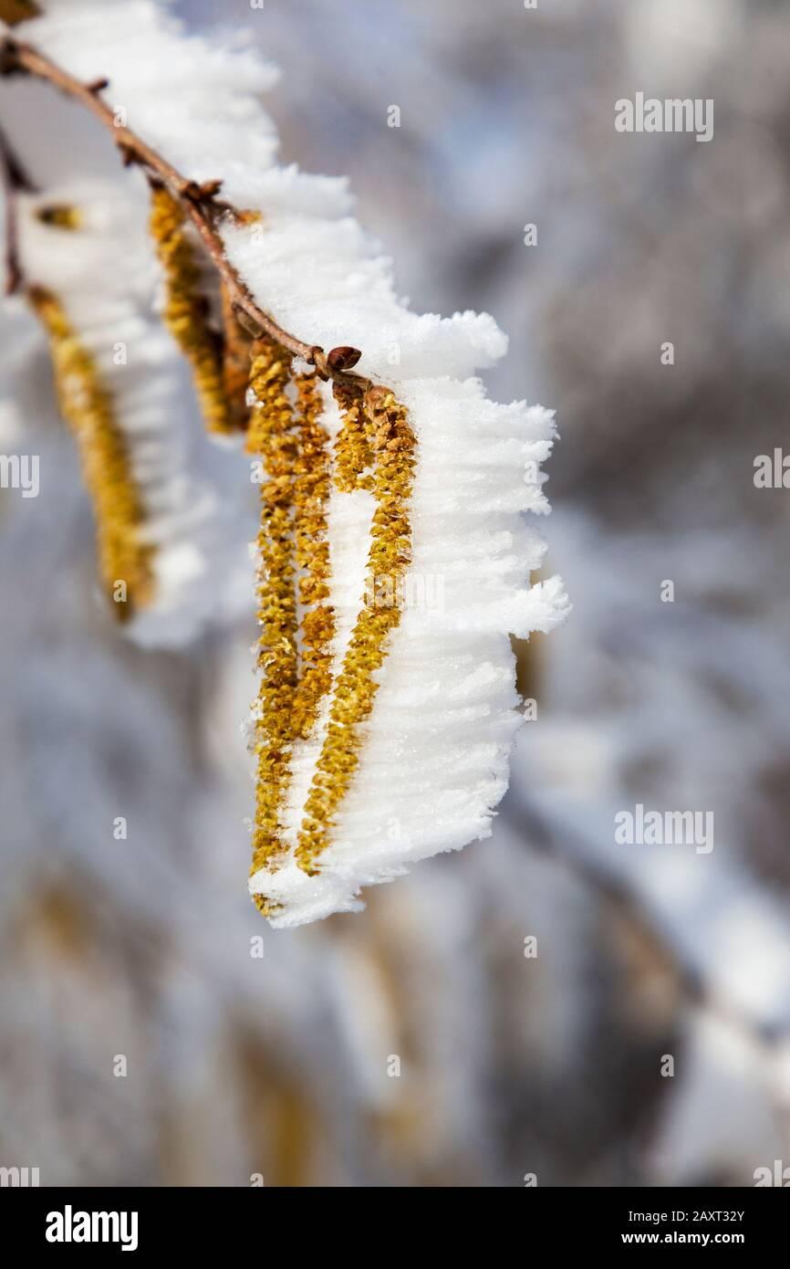 Gelo sui fiori della corilus avellana, il nocciolo comune, Foto Stock