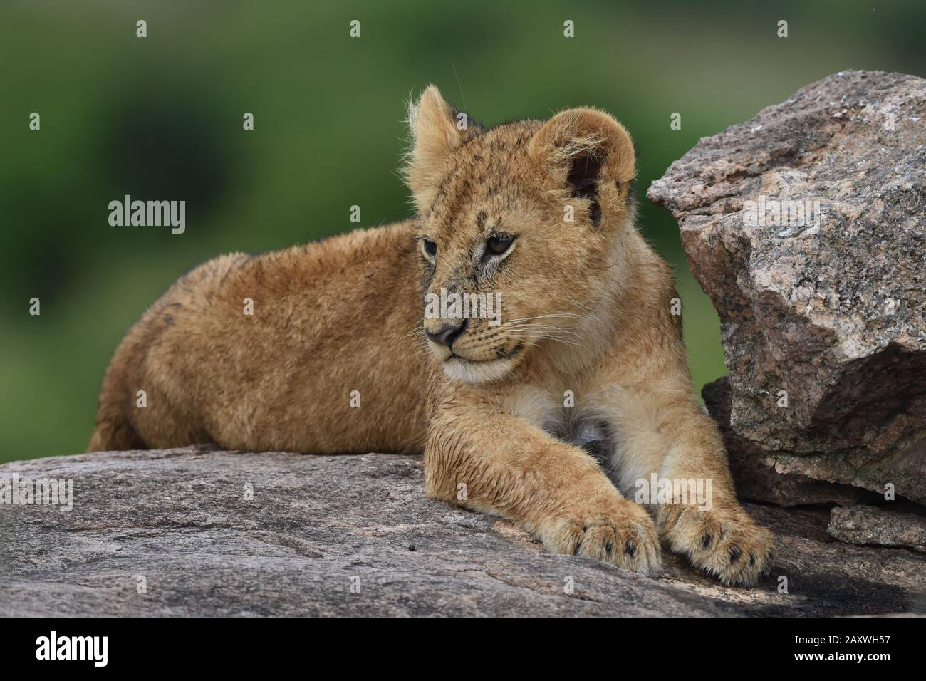 Cute Lion cub riposante su Rocks.Masai Mara National Park, Kenya. Foto Stock