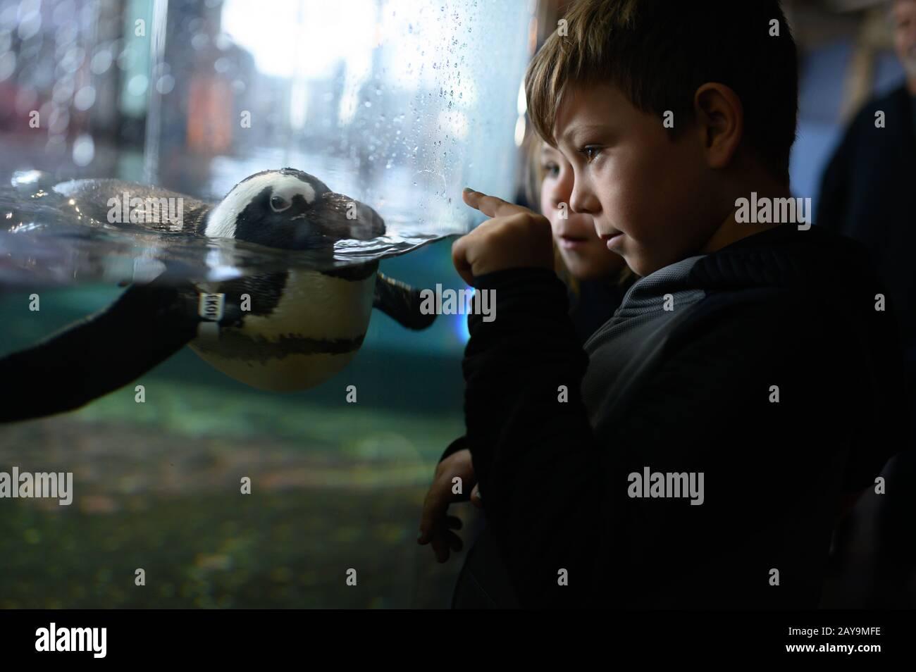 Ragazzo che punta ai pinguini che nuotano nell'esposizione dell'acquario Foto Stock