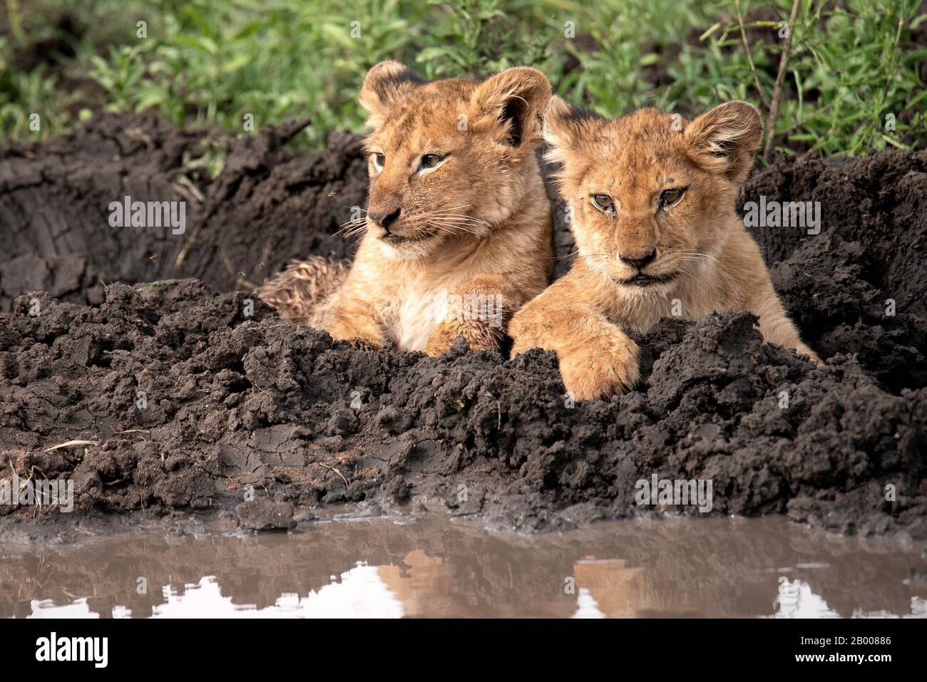 Lion cubs che posano per la loro foto, solo troppo carino per le parole Foto Stock