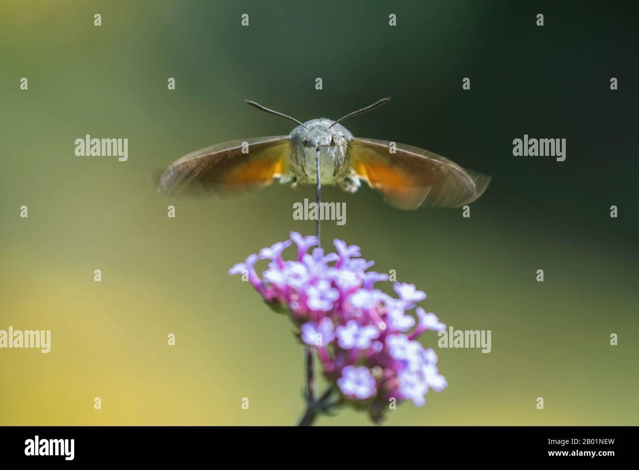 Hummingbird Hawkmoth (Macroglossum stellatarum), che si librano su un fiore e succhiare nettare nettare, Germania, Baviera, Niederbayern, Bassa Baviera Foto Stock