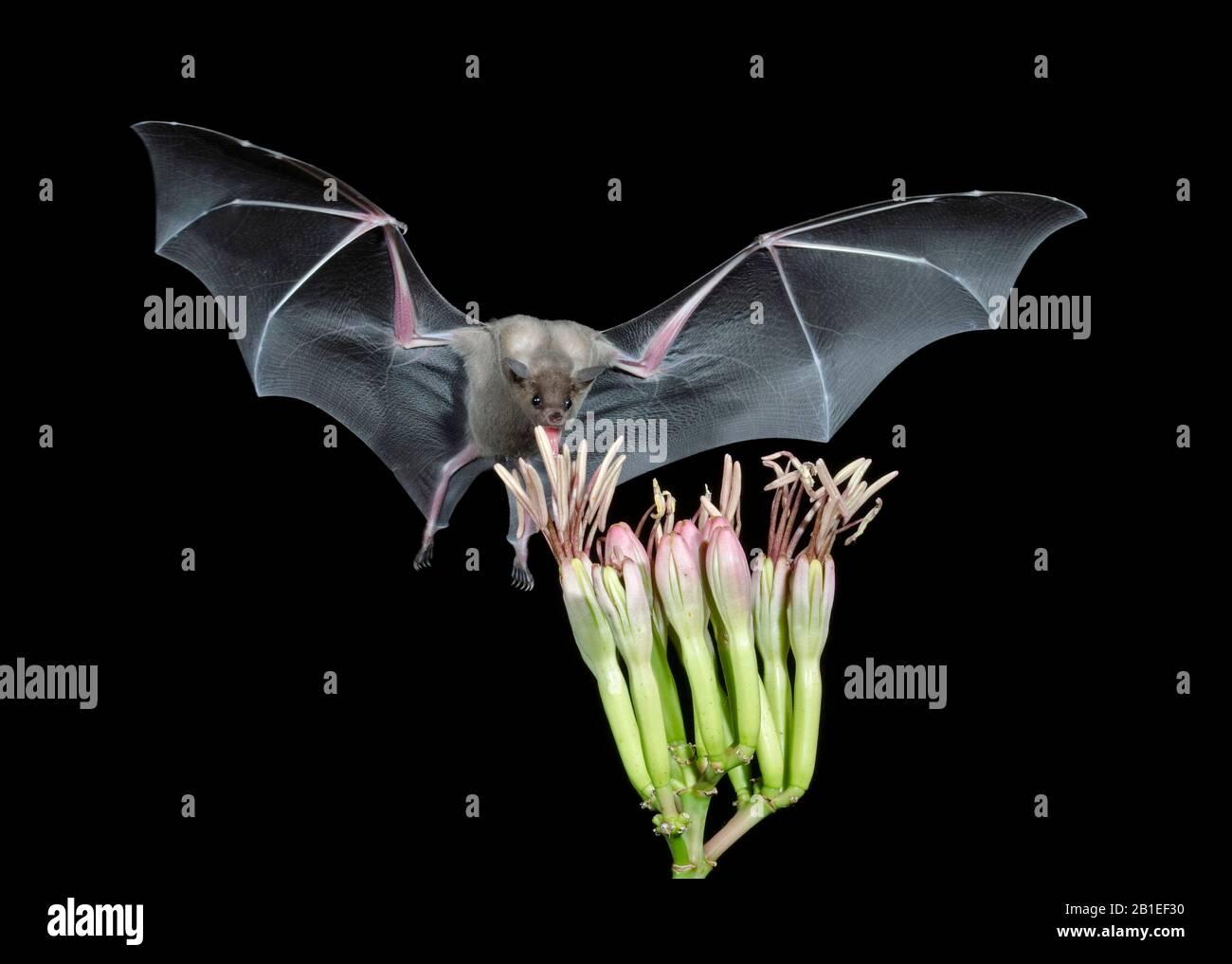 Pipistrello meno a lungo (Leptonycteris curasoae), che si nutrono di un fiore Agave. Amado, Arizona. Foto Stock
