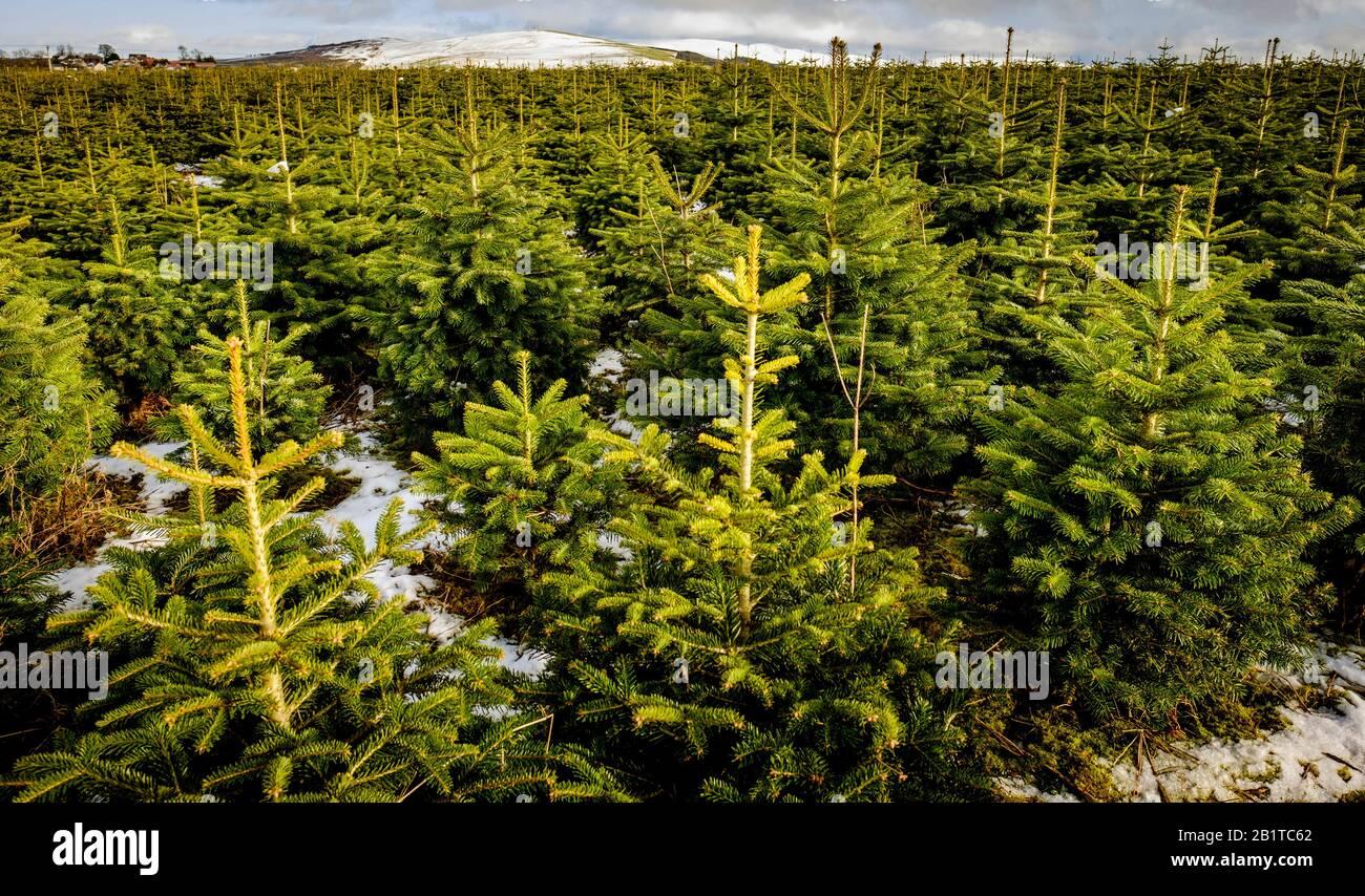 Alberi di Natale in crescita su una 'Christmas Tree Farm' nel Lanarkshire del sud, Scozia Foto Stock