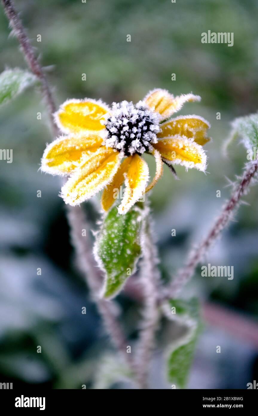 Fiore giallo con brina. Coneflowers in inverno, mattina. Foto Stock