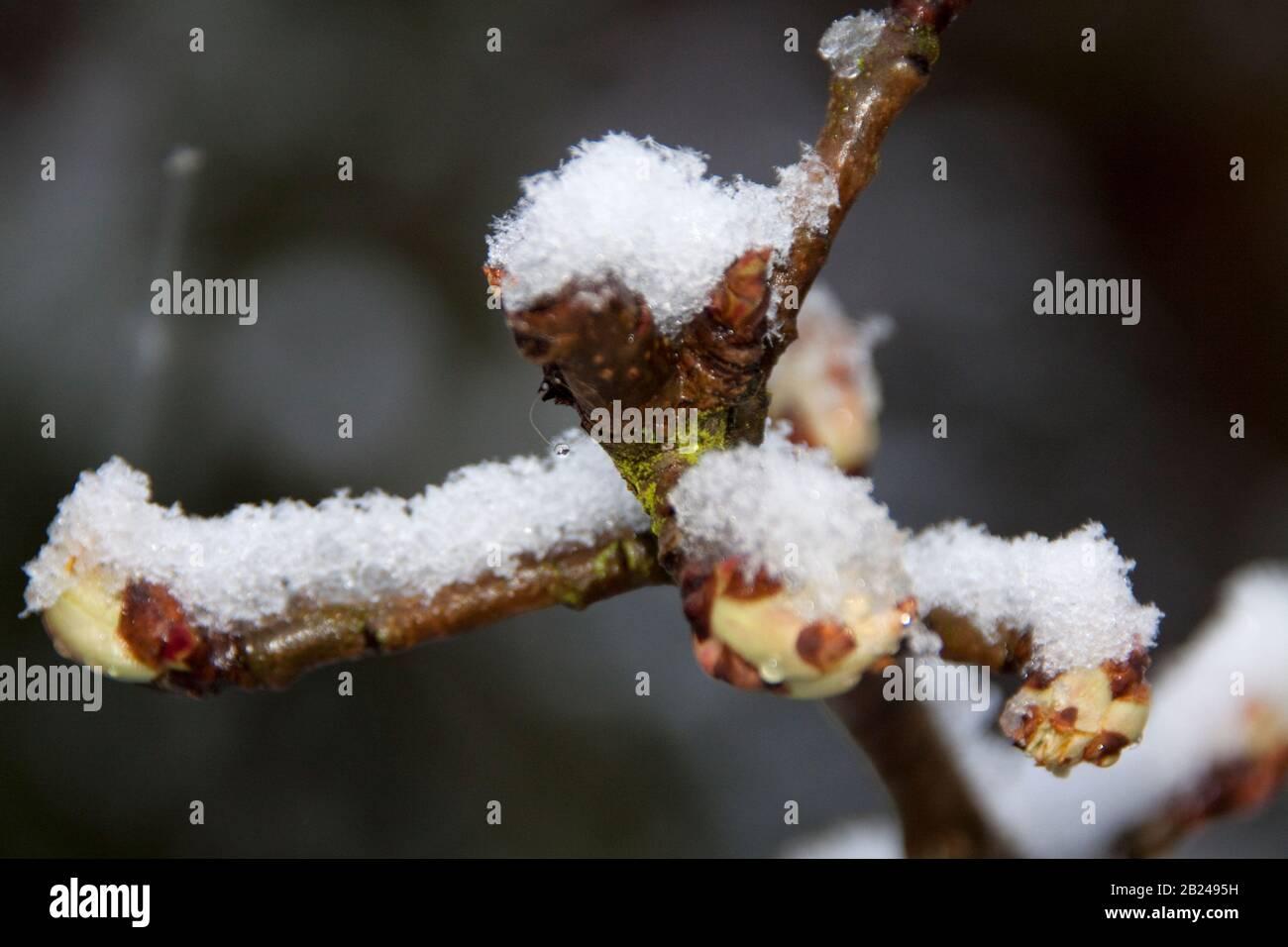 Germogli di Pero con neve sopra Foto Stock