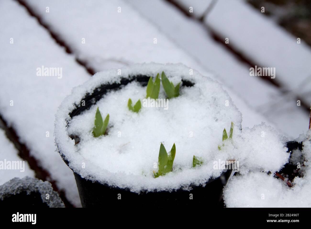 Neve caduta su piante in vaso Foto Stock
