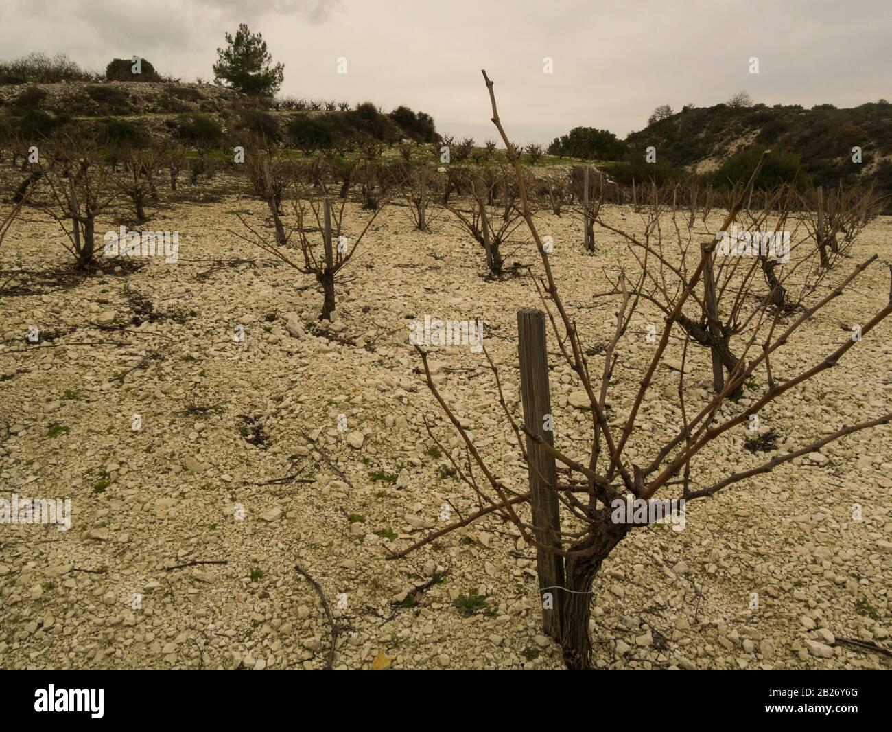 Vigneti nel vigneto della cantina Kimo Gerolemo di Omodos Cipro, che produce una selezione di uve premiate per i vini bianchi rossi e rosati e dolci Foto Stock