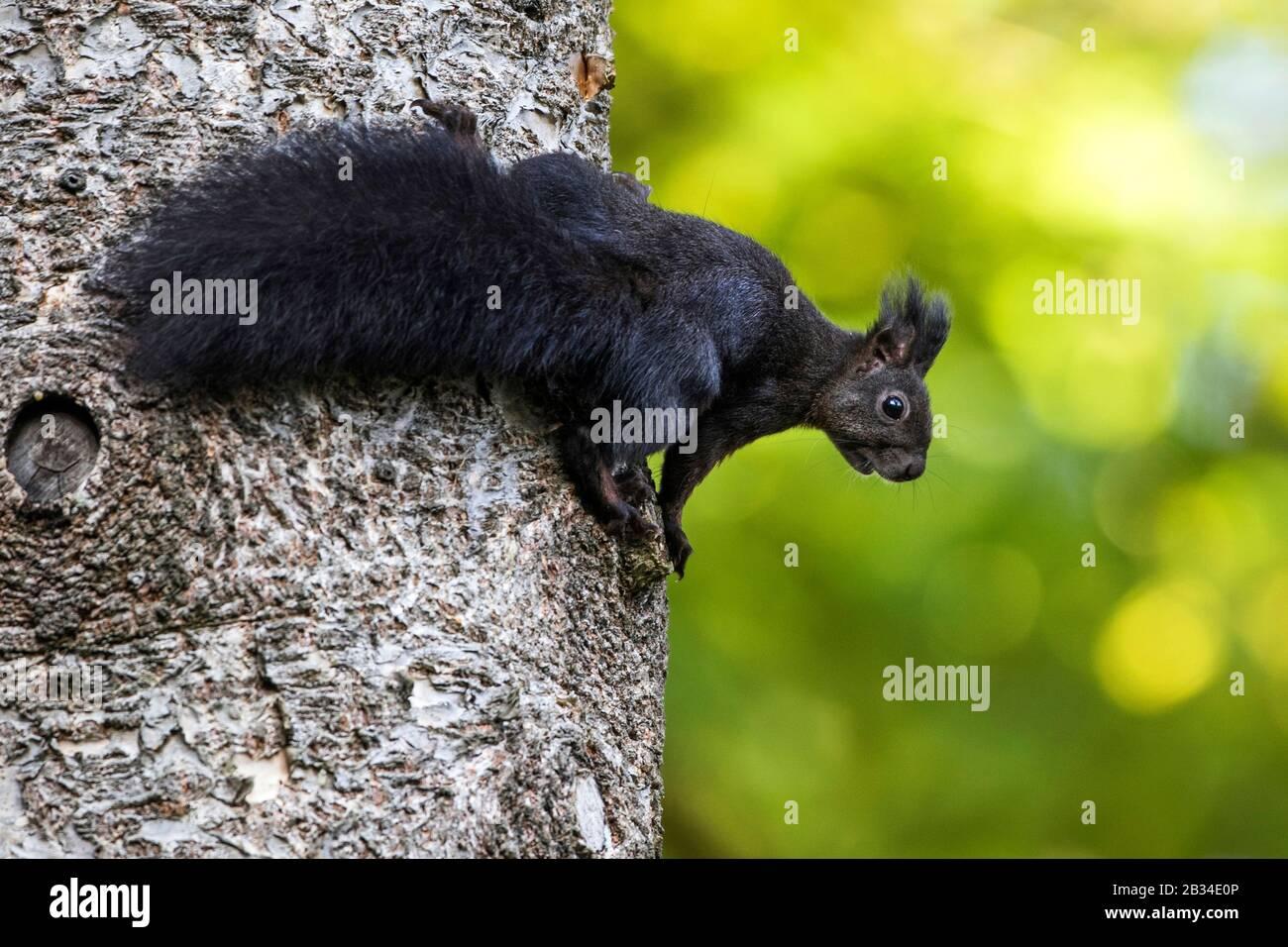 Scoiattolo rosso europeo, scoiattolo rosso eurasiatico (Sciurus vulgaris), varietà nera in un tronco d'albero, Germania, Baden-Wuerttemberg Foto Stock