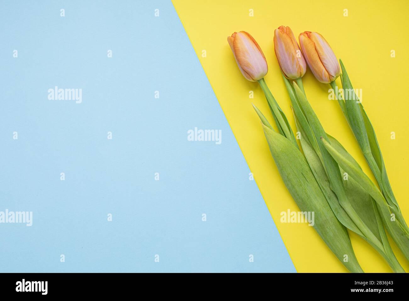 Bellissimi tulipani rosa su sfondi di carta multicolore con spazio di copia. Primavera, estate, fiori, concetto di colore, giornata femminile Foto Stock