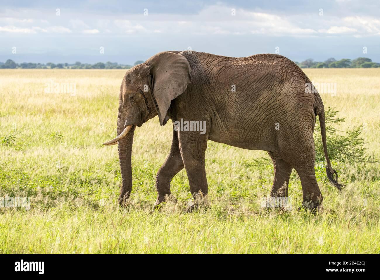 Un safari in piedi, tenda e jeep attraverso la Tanzania settentrionale alla fine della stagione delle piogge nel mese di maggio. Parchi Nazionali Serengeti, Ngorongoro Crater, Tarangire, Arusha E Lago Manyara. Elefante nella savana Foto Stock