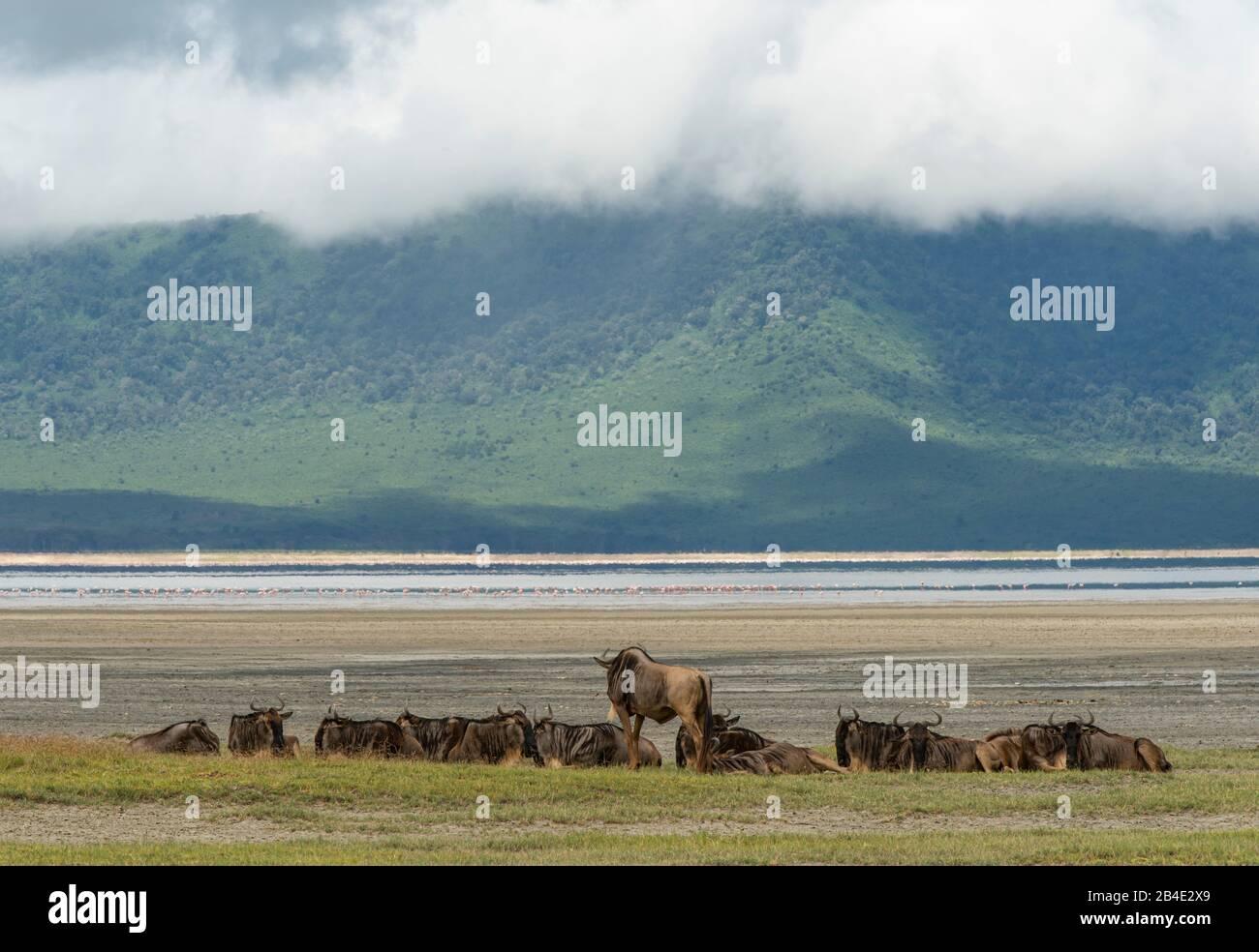 Un safari in piedi, tenda e jeep attraverso la Tanzania settentrionale alla fine della stagione delle piogge nel mese di maggio. Parchi Nazionali Serengeti, Ngorongoro Crater, Tarangire, Arusha E Lago Manyara. Hotel A Ngorongoro Crater. Foto Stock