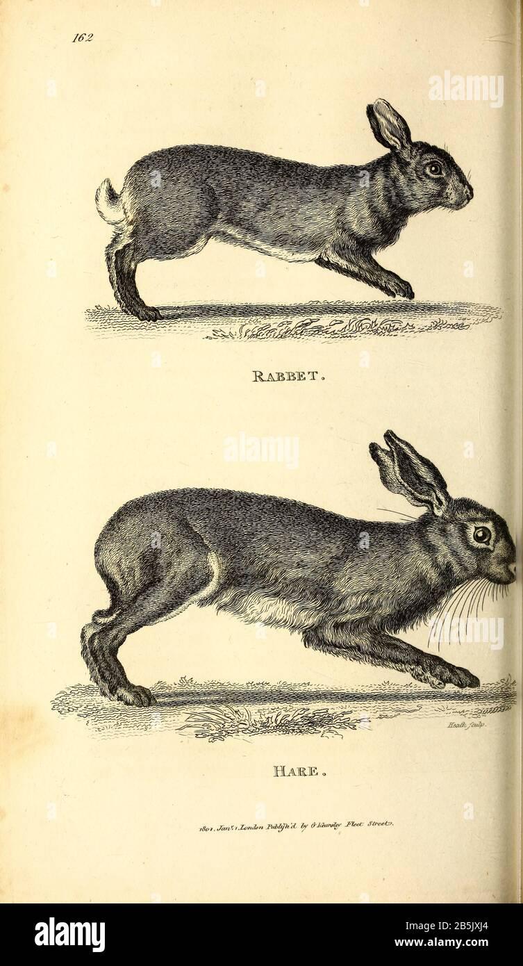 5 x maglia FORCELLA Rabbit legno naturale con lepri chiaro e istruzioni