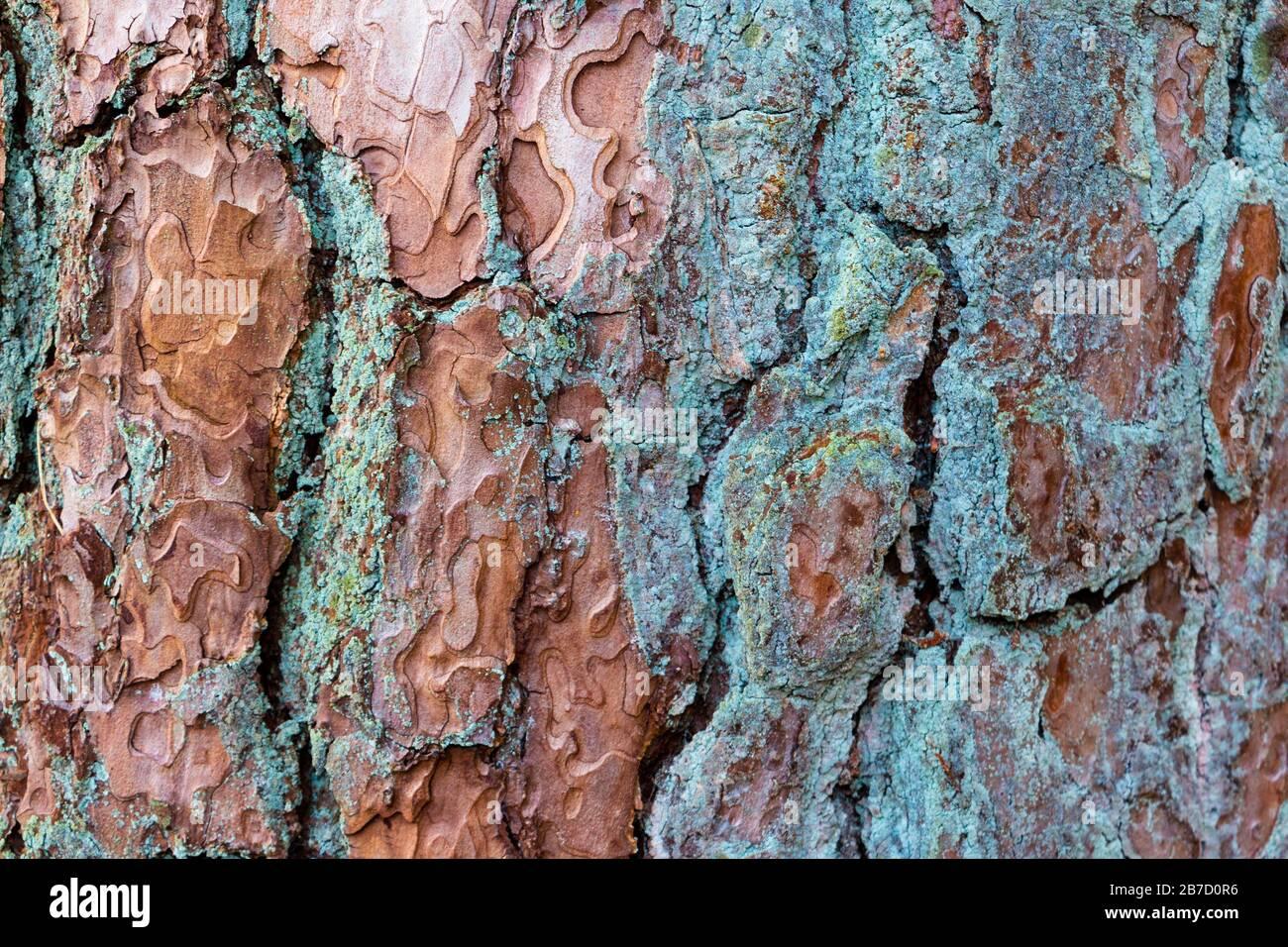 modello di corteccia di albero grossolano con colori verde blu e marrone, bello come sfondo o sfondo nella vostra foto Foto Stock