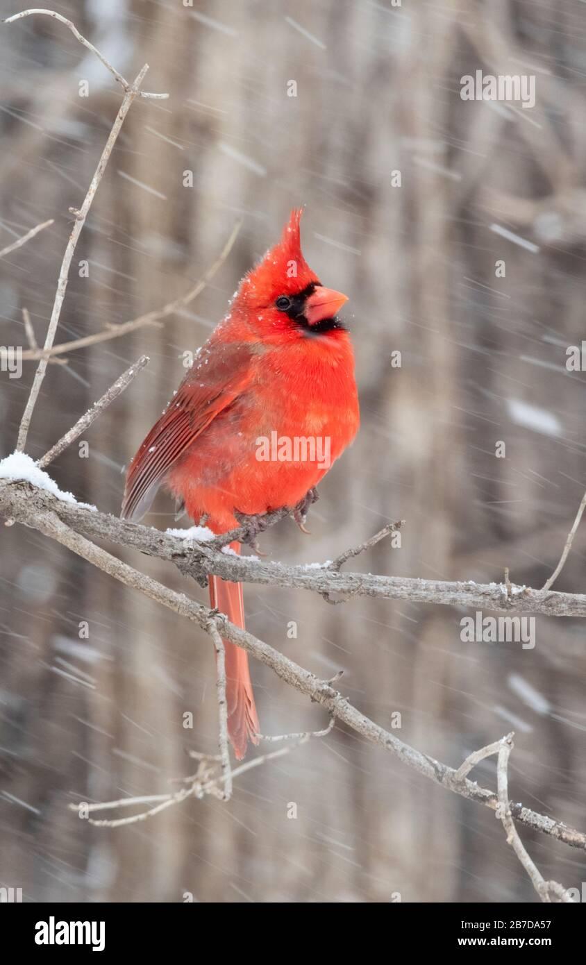 Cardinale del Nord (cardinalis cardinalis) maschio sotto Blizzard, Iowa, USA. Foto Stock