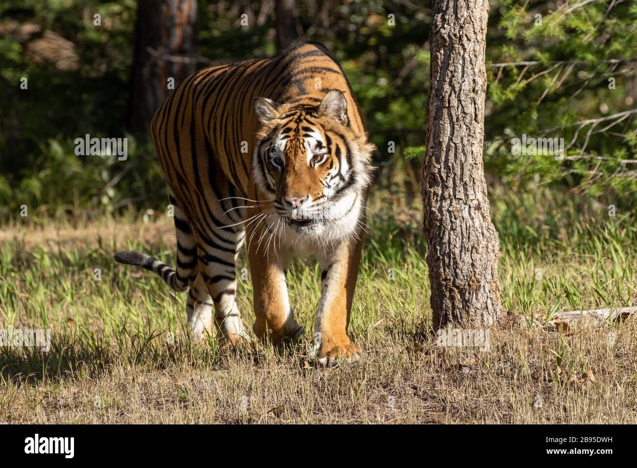 Tigre siberiana al Triple D in Montana Foto Stock