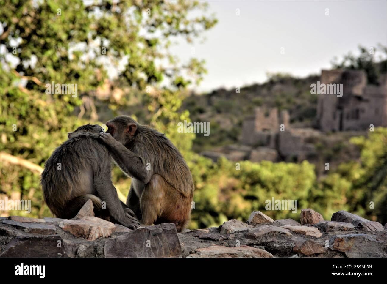 Una scimmia che aiuta l'altro cercando e mangiando pidocchi di testa, India Foto Stock