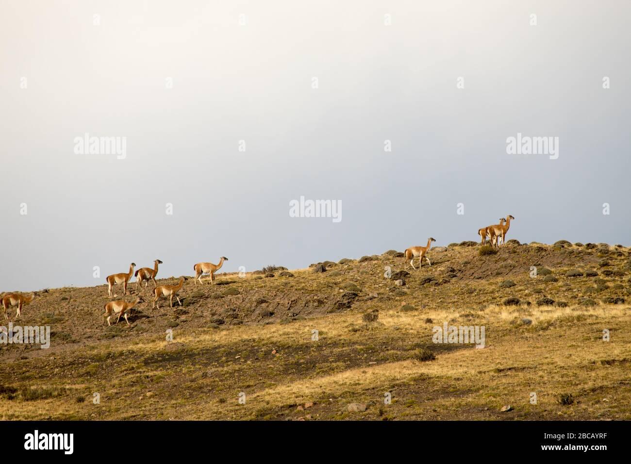 Guanacos nel paesaggio delle montagne Torres del Paine, Parco Nazionale Torres del Paine, Cile Foto Stock