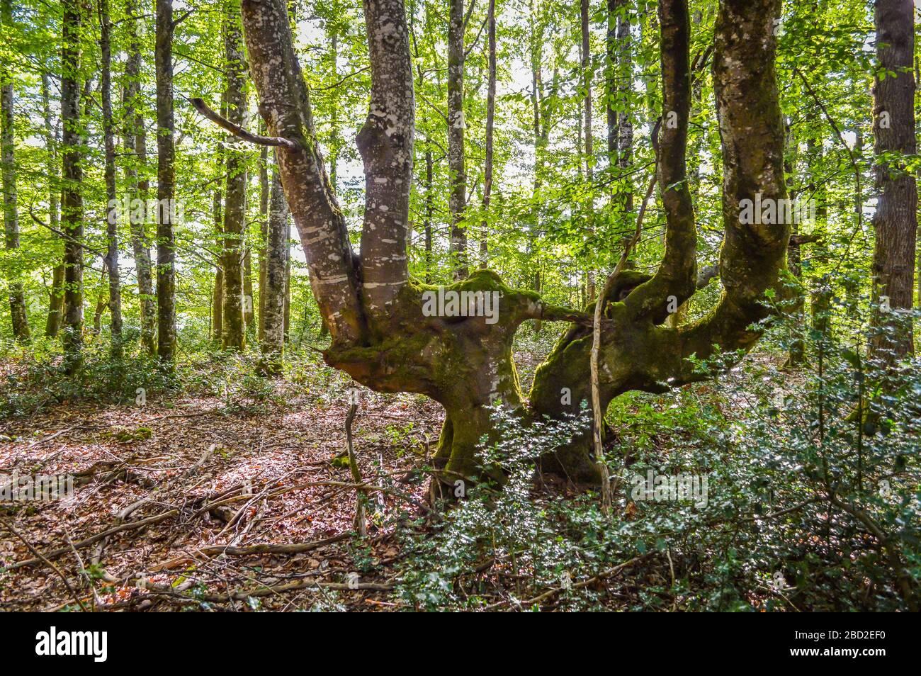 Strana forma alberi nella foresta, Corrèze, Francia. Foto Stock