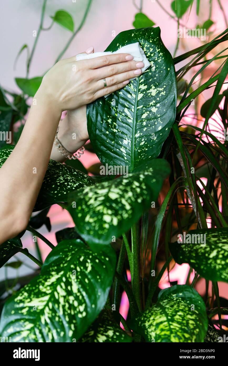 Anthurium Cura Della Pianta le mani del giardiniere femmina che puliscono la polvere