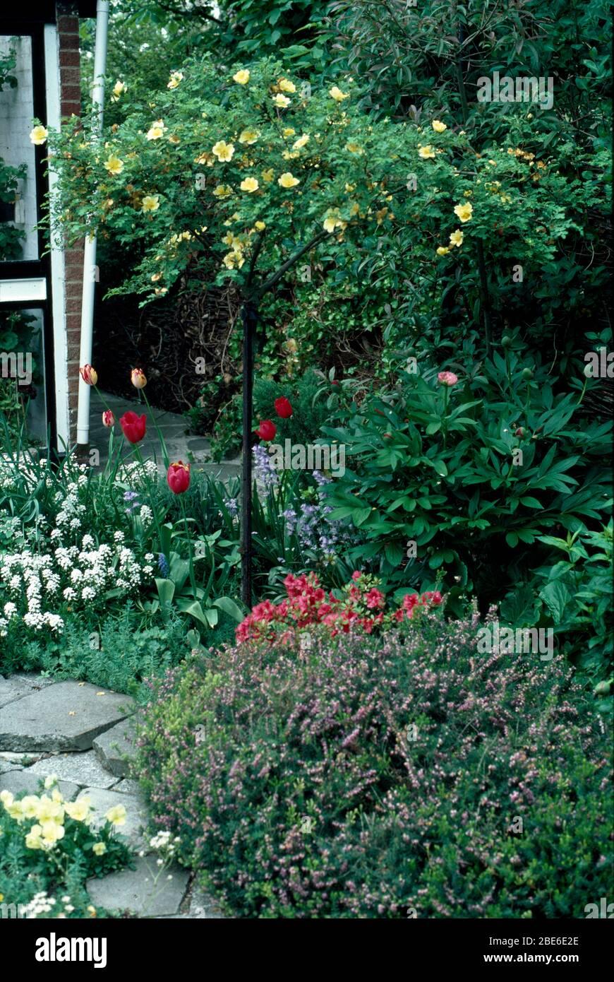 Rosa pallido giallo standard al bordo con tulipani rossi e alyssum bianco nel giardino di inizio estate Foto Stock