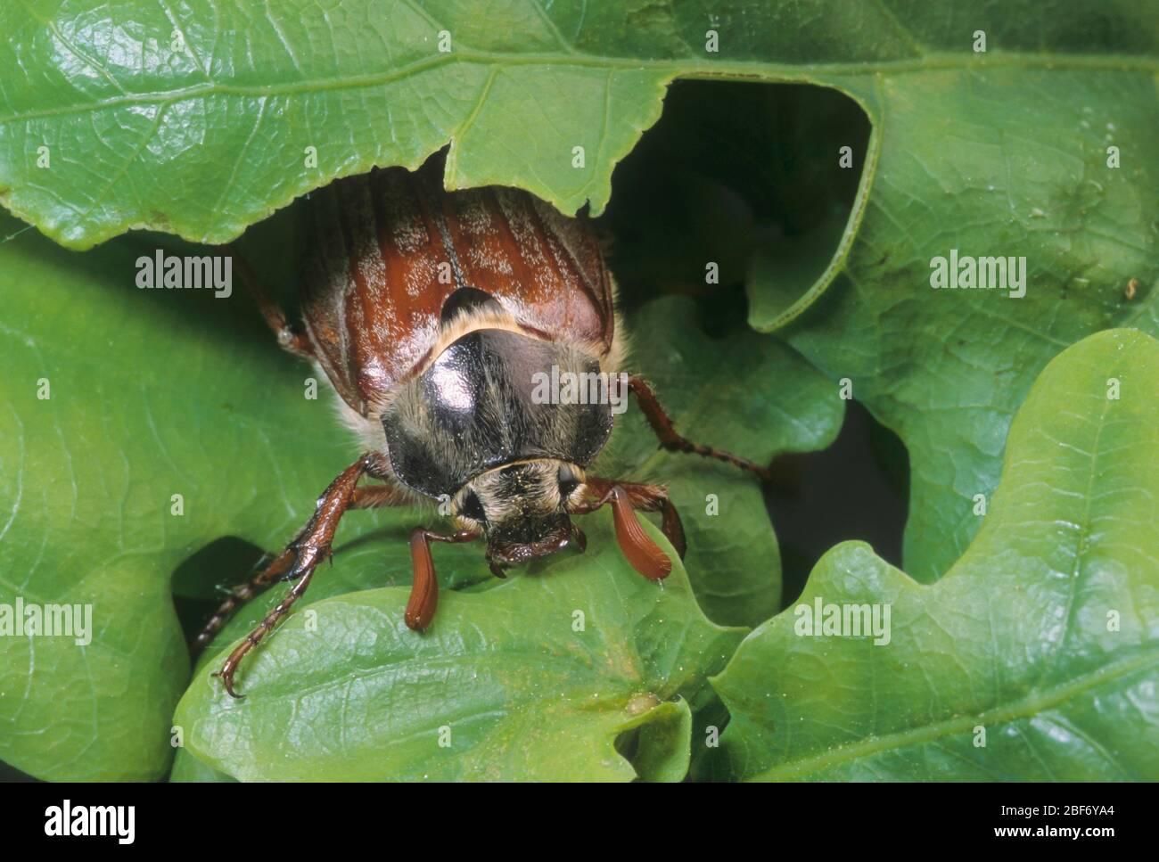 Il comune scarafaggio, Maybug, Maybeetle (melolontha melolontha), si nutre di quercia Foto Stock