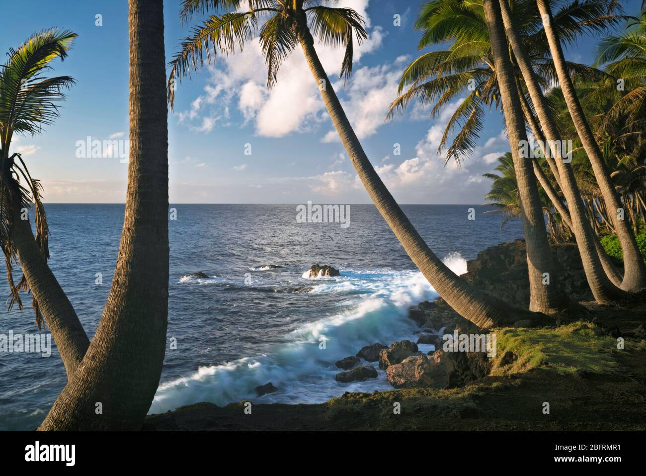 Magica luce del mattino presto lungo la costa di Puna costeggiata da palme sulla Big Island delle Hawaii. Foto Stock