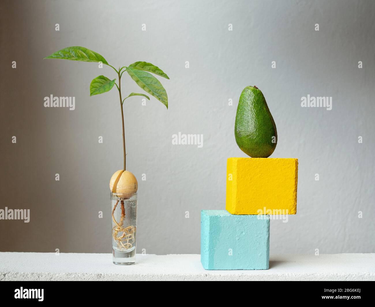 Nocciolo Di Avocado In Acqua radici di avocado immagini & radici di avocado fotos stock