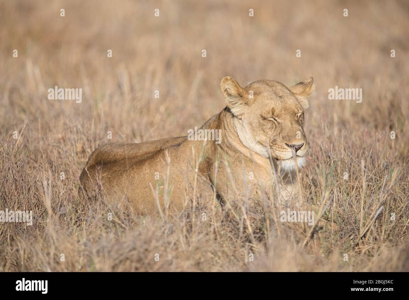 Busanga Plains, una destinazione esclusiva per safari nel Parco Nazionale di Kafue, Nord-Occidentale, Zambia, è sede di un orgoglio di leoni africani, Panthera leo. Foto Stock