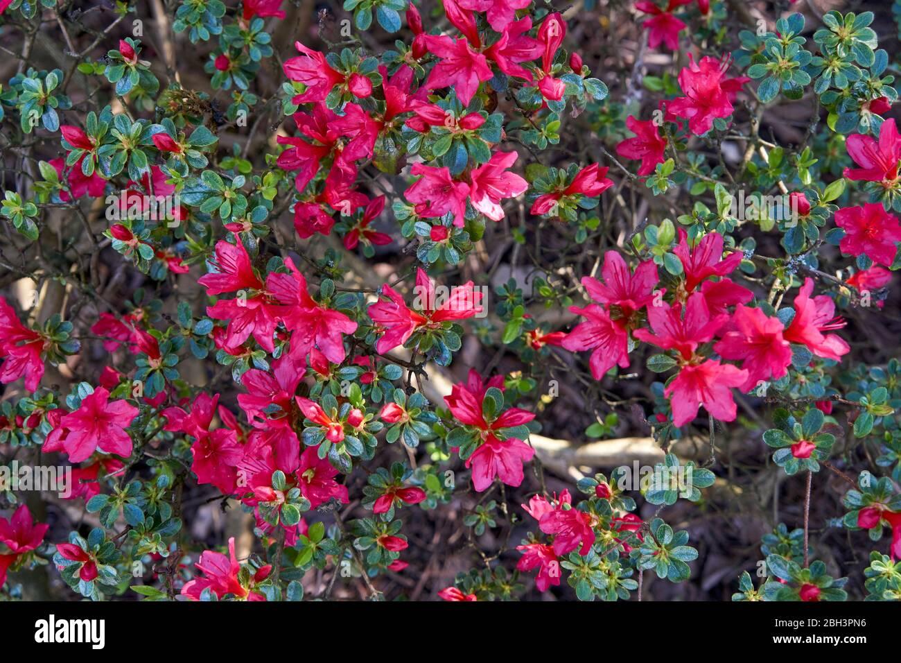 Cespugli Sempreverdi Con Fiori cespuglio sempreverde in fiore immagini & cespuglio