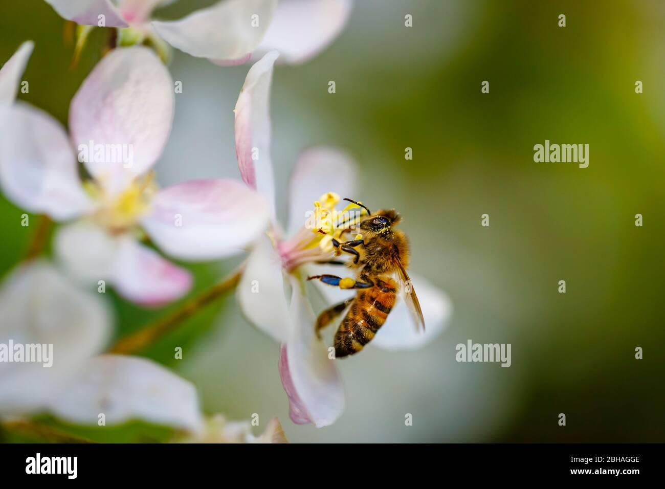 Minibeast: Un'ape di miele, Apis mellifera, raccolta di nettare e polline dalle stampe di bianco albero di mele fioriscono in primavera, Surrey Foto Stock