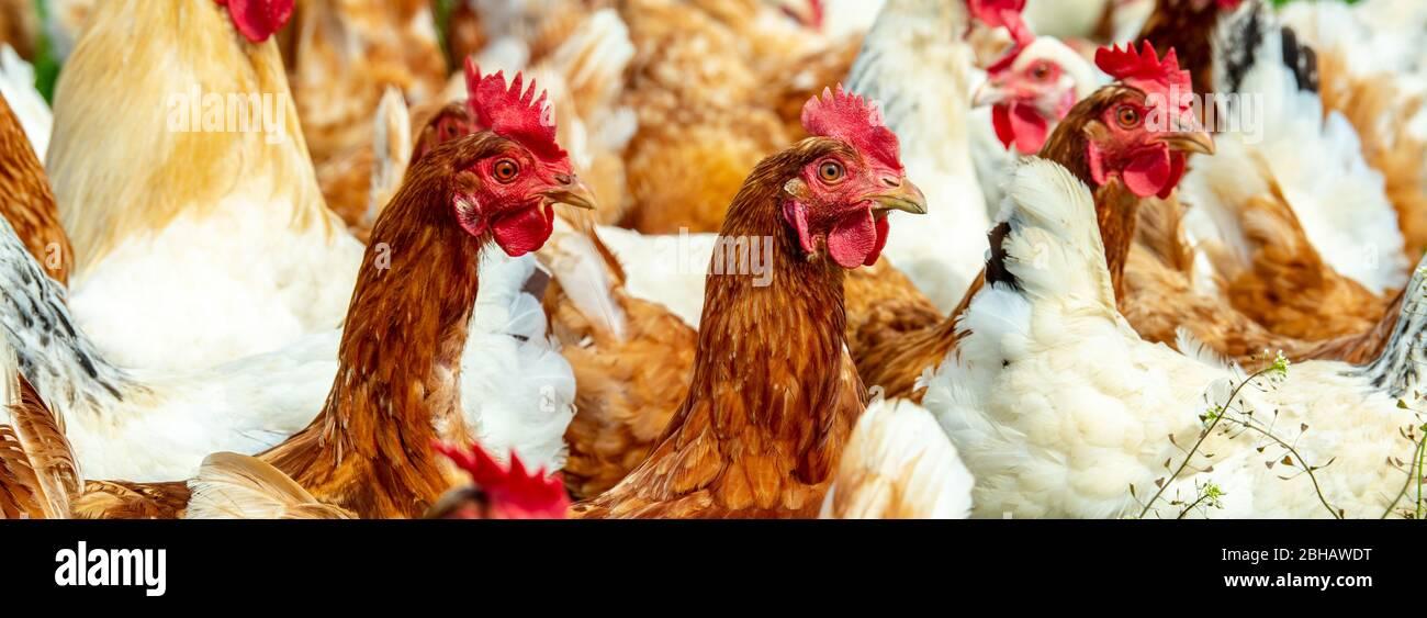 Freilaufende Hühner im Gehege Foto Stock