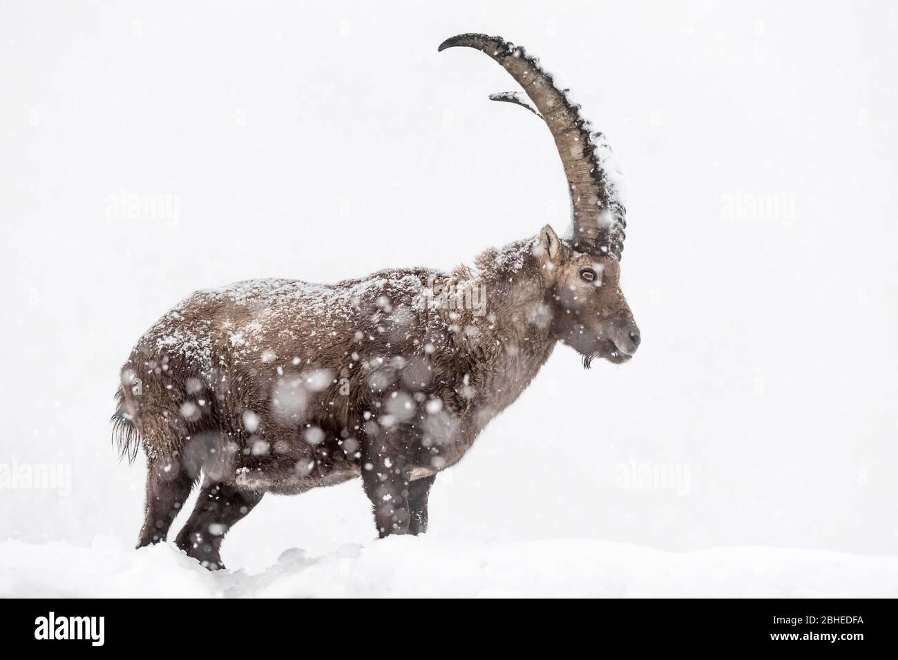 Richiamo del selvaggio ritratto dello stambecco alpino sotto la tempesta di neve (Capra stambex) Foto Stock