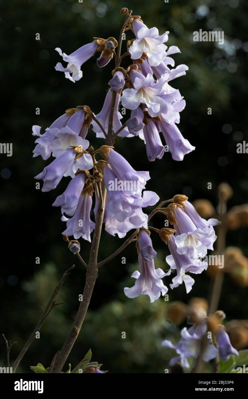 Piantare Alberi Di Paulonia imperatrice albero paulownia tomentosa immagini
