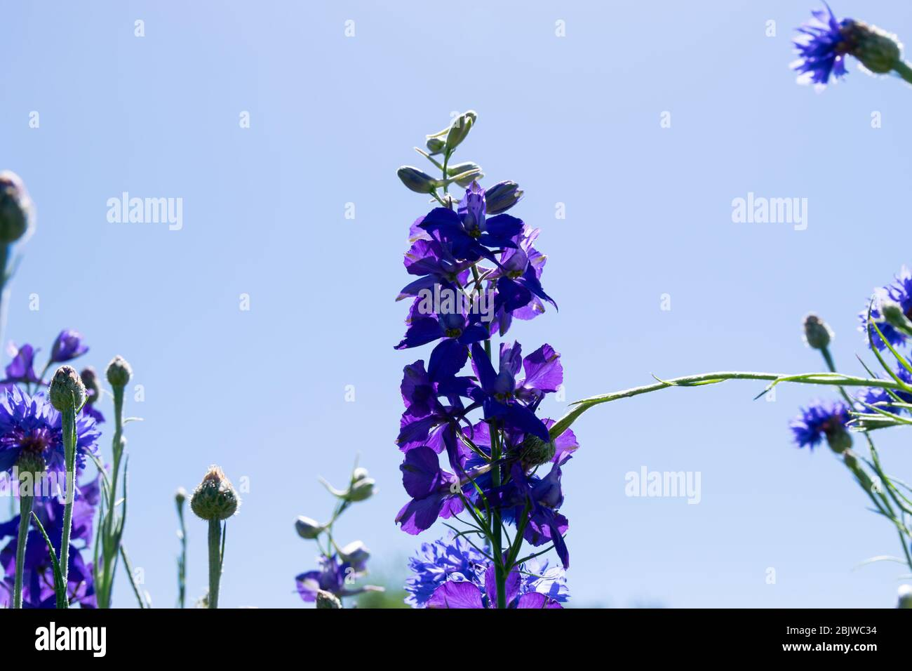 Bella vista che guarda da sotto un fiore blu viola scuro che cresce in un parco cittadino in un pomeriggio soleggiato con un cielo nuvoloso. Foto Stock