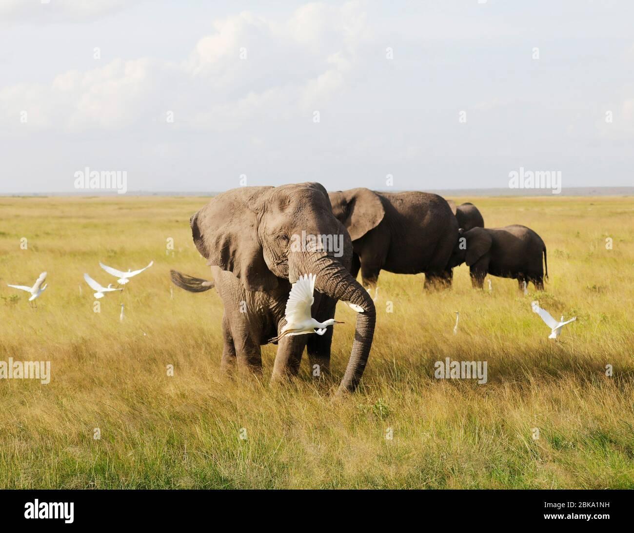 Elefanti A Amboseli Nationalpark, Kenya, Africa . Foto Stock