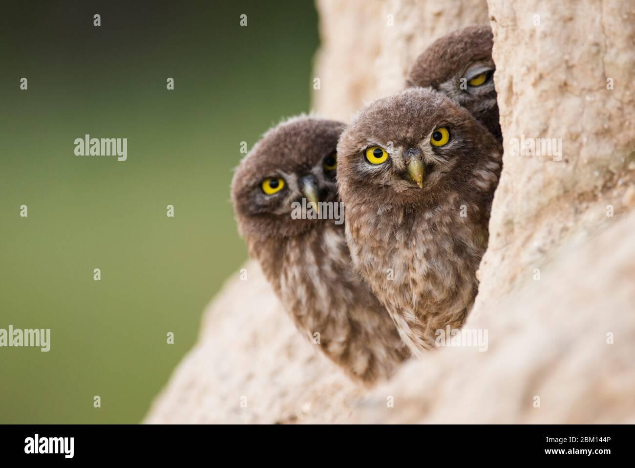 Tre piccoli gufi che sbucciavano dal suo buco e guardavano la macchina fotografica. Foto Stock