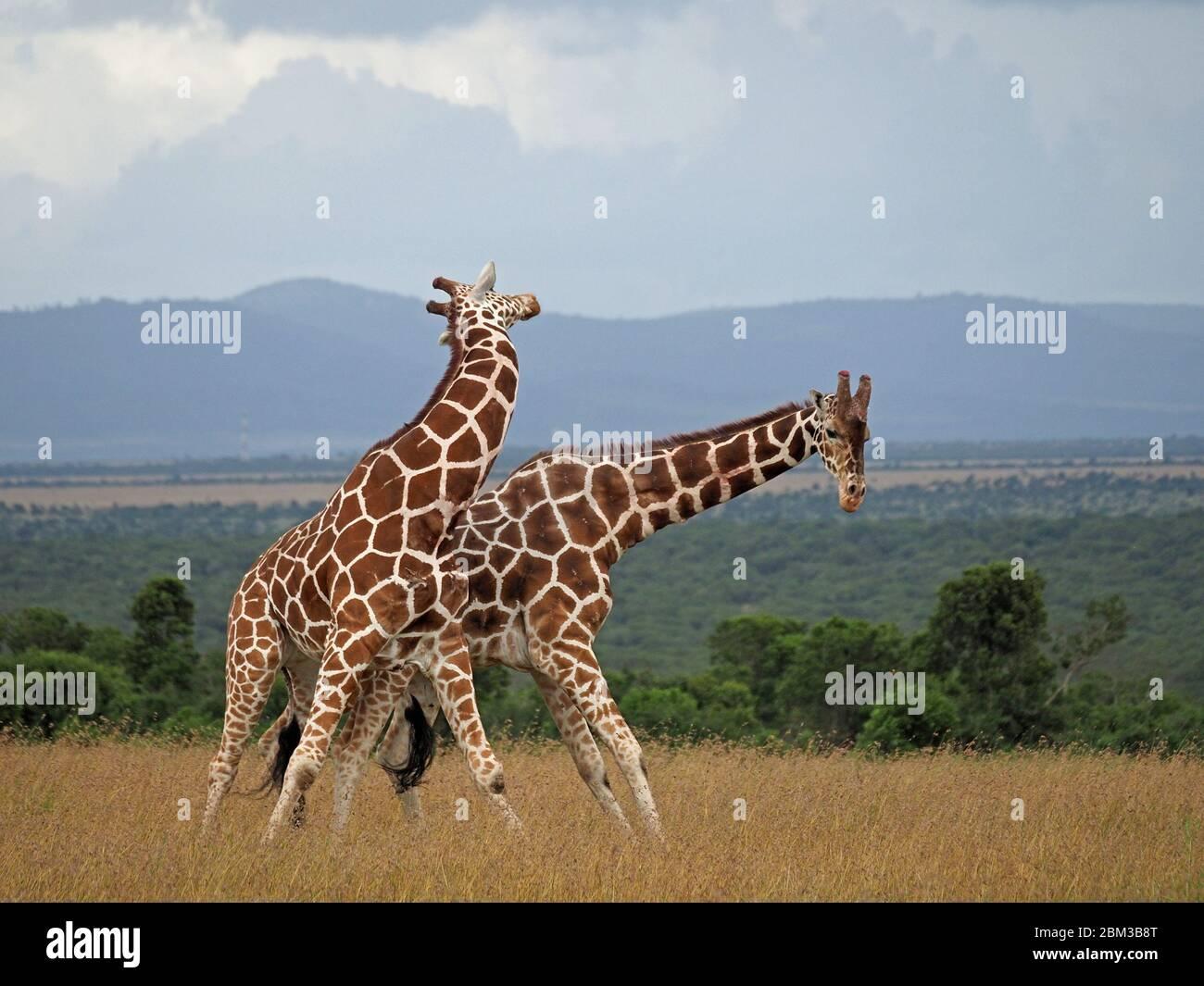 Due vecchie giraffe toro reticulate (Giraffa camelopardis reticulata) lotta per diritto di accoppiamento con la femmina -OL Pejeta Conservancy, Laikipia, Kenya, Africa Foto Stock