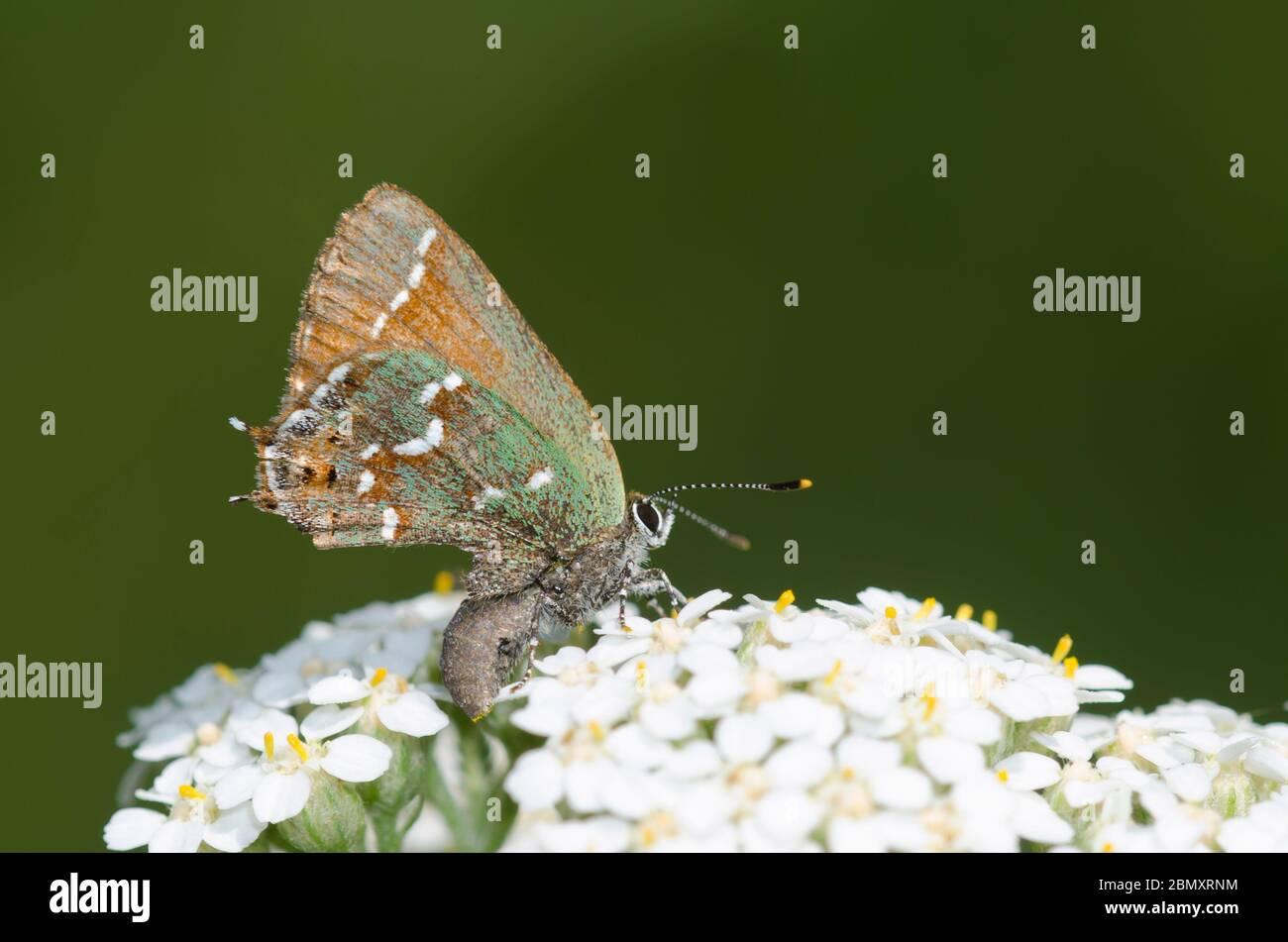 Juniper Hairstreak, Callofrys gryneus, mostrando possibile attacco predatore, arroccato su yarrow, Achillea millefolium Foto Stock