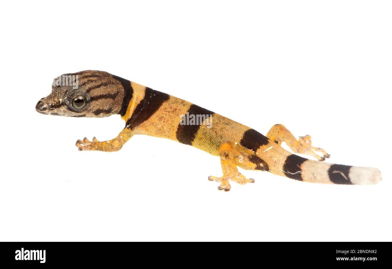 Giovani Caraibi meno geco (Sphaerodactylus homolepis) Isla Colon, Panama. Progetto Meetyourneighbors.net Foto Stock
