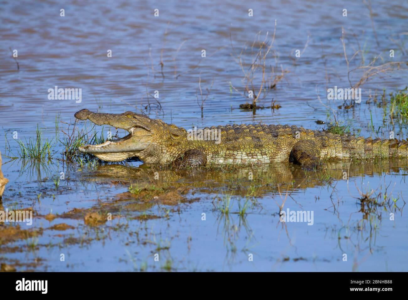 Coccodrillo di acqua salata (Crocodylus porosus) termoregolato con bocca aperta. Parco Nazionale di Yala, Sri Lanka, marzo. Foto Stock